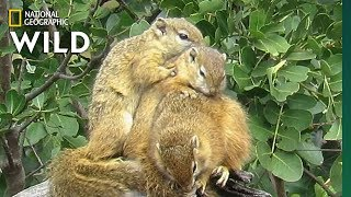 Squirrels Seek Warmth in Winter by Snuggling   Nat Geo Wild