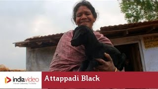 Attappadi Black - a Goat Breed