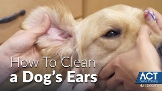Cleaning A Dog's Ears - Veterinary Training