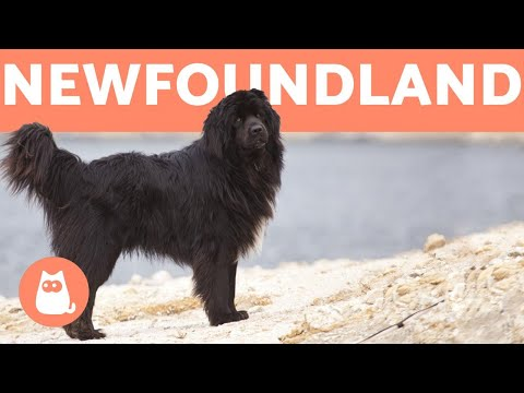 NEWFOUNDLAND DOG - Profile of a Hero Breed
