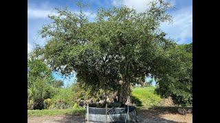 Large Oak Trees For Sale