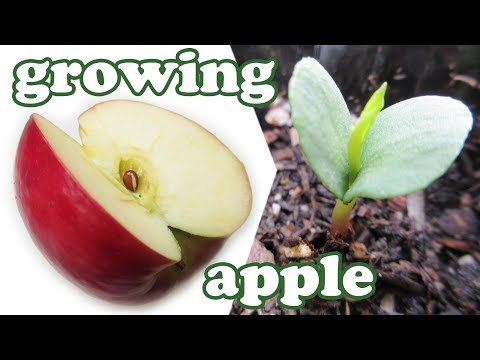 How To Grow An Apple Tree From Seeds - Growing Apples Fruits - Planting Dwarf Fruit Trees - Jazevox