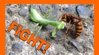 Suzumebachi VERSUS Praying Mantis 雀蜂とカマキリの戦い ***GRAPHIC CONTENT***