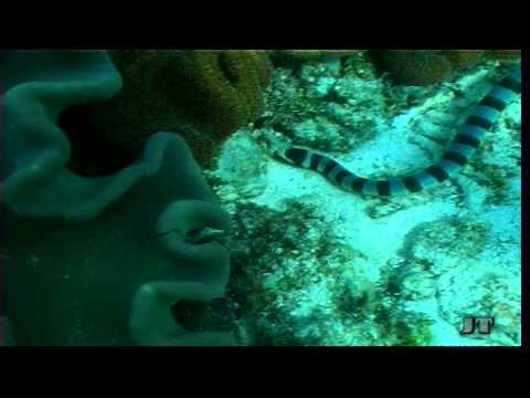 Sea Snake, Giftige Seeschlange part.2, poisonous animal, Moalboal,Philippinen