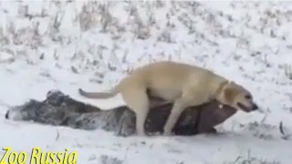 Dog Humps Dad on Sled - Pranks Videos