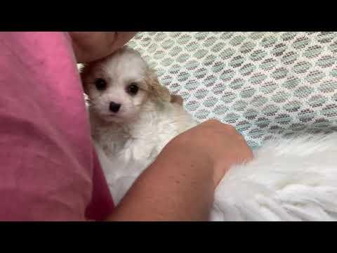 Ava the Cavachon puppy