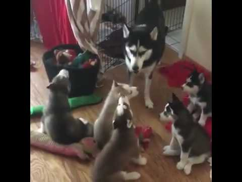 Cute Baby Huskies Howling With Their Mother! YOUR HEART WILL MELT!