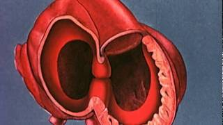 Heart embryology video