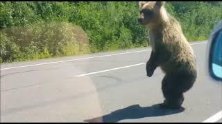 Молодой медведь на Камчатке стал звездой соцсетей (видео)