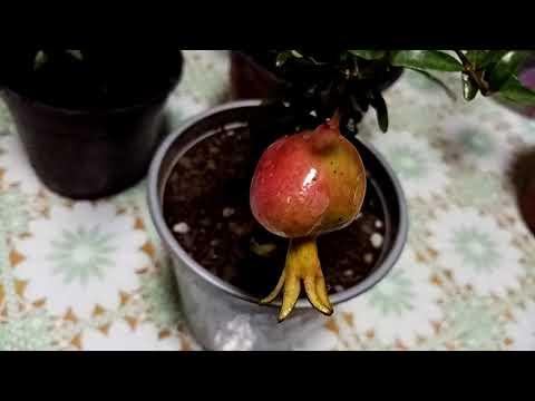 Плоды наших трудов. Комнатные растения с плодами. Пробуем кариссу.