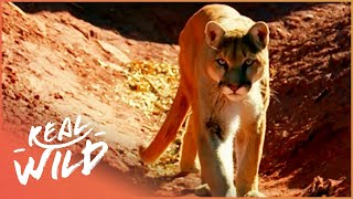 Lion Of The Americas [Mountain Lion Documentary] | Real Wild