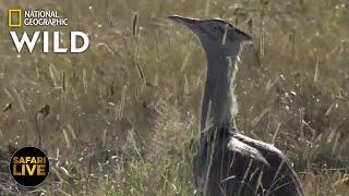 Safari Live - Day 342   Nat Geo Wild