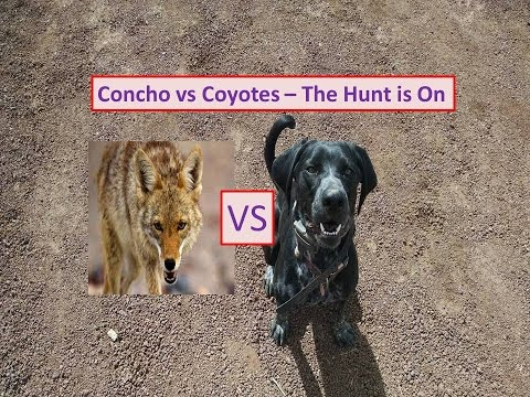Hunting Coyotes With Catahoula Dog - The Hunt Is ON