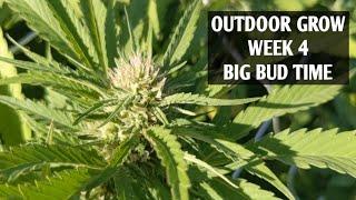 Outdoor Grow Cannabis Week 4! Big Bud time, Indoor vs Outdoor,  Secret Molasses for Flowers