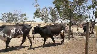 Bovino Leite Girolando Vaca 16-20l - e-rural Imagens