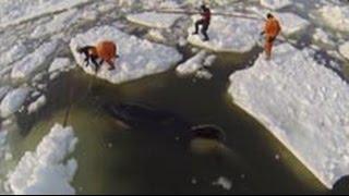 Как плачет «кит-убийца»: кадры спасения косатки Вилли из ледяного плена