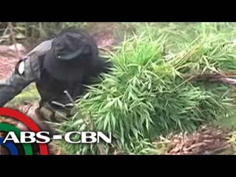 TV Patrol: Aabot sa P11-M halaga ng mga tanim na marijuana, nasamsam