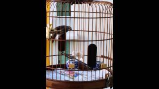 Grey Finch X Green Finch Great Singer ~ 灰雀配石燕