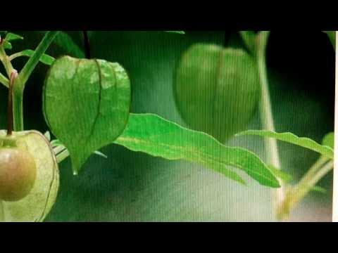 พืชชนิดหนึ่งฆ่าหนอน