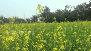 Mustard Field in Rajambil Village