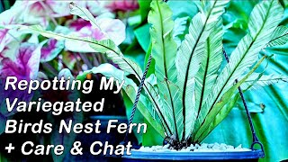 Potting Birds Nest Fern + How to Grow