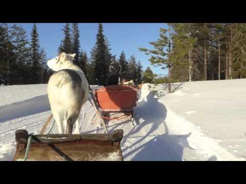 Reindeer Safari in Lapland's Winter Wonderland - Salla - Finland (16-2-2015)