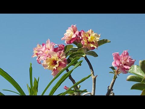 Июльское цветение Адениумов! Цвет настроения - любой! )
