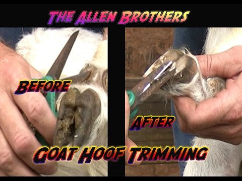 , title : 'Trimming Overgrown Goat Hooves/ The Allen Brothers