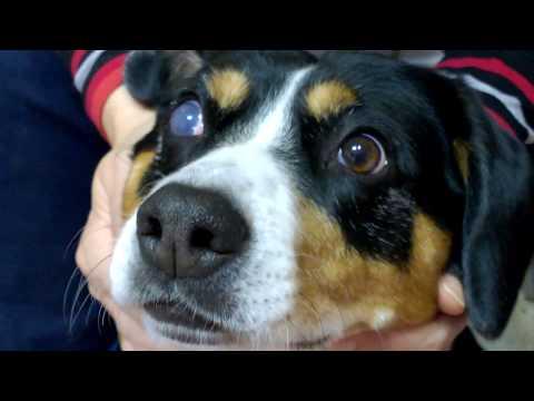 Глаукома у собак. Протезирование глаз у собак. Клинический случай.