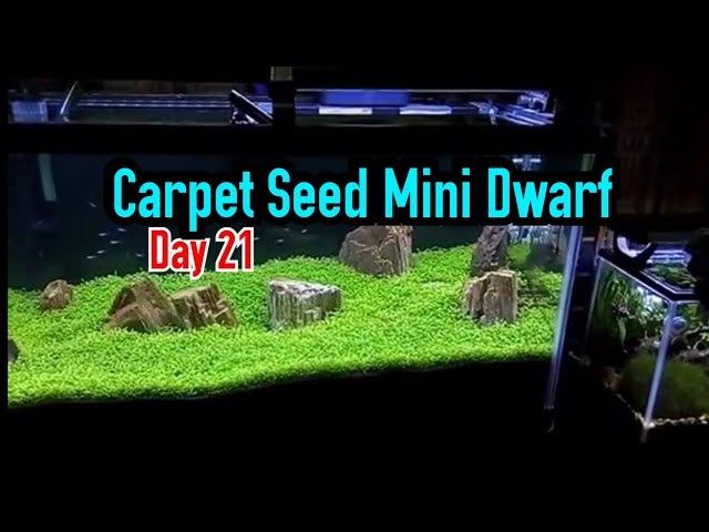 Carpet Seed Mini Dwarf (21 days after seeding) - aquascape