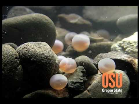 About Salmon: Digging Redd ( videoclip)