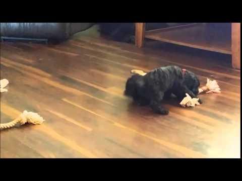 Millie Mini Whooodle girl!  www.diamonddoodles.com