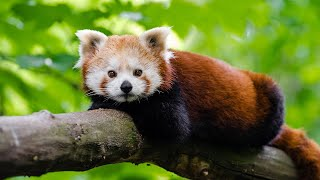 Red Pandas VS Giant Pandas | Animal Facts  | Love Nature