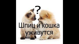 Шпиц и кошка уживутся ?