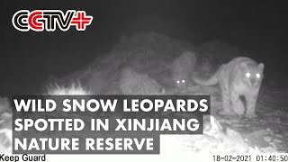 Wild Snow Leopards Spotted in Xinjiang Nature Reserve