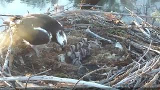 Hatching of Osprey Chick #4