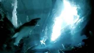 preview picture of video 'shark diving blue planet aquarium'