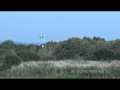 , title : 'Marsh harrier duck hunt at Shapwich