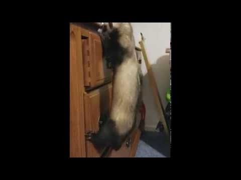 Smart Ferret Opens Drawer || ViralHog