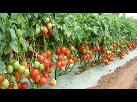 , title : '9 Mistakes To Avoid When Growing Tomatoes