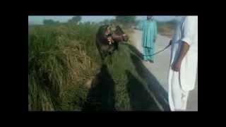 preview picture of video 'malik fazal naeem  gujar khan'