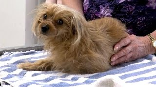 Yorkie Recovering After Having Snout Bound Shut For Barking Too Much