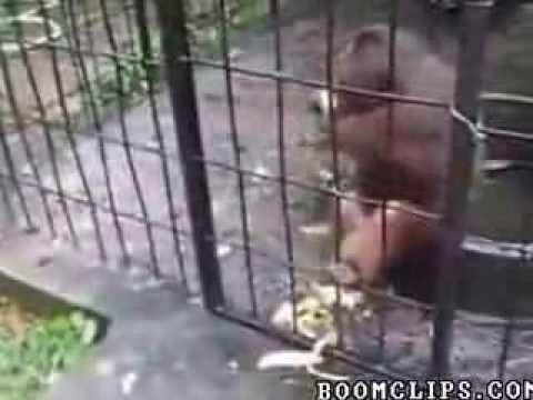 Tốc độ ăn chuối của anh khỉ là vô đối