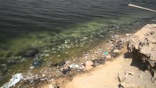 نفوق الأسماك في الجهة الشرقية من بحيرة النسيم بسيهات - ١٦ يوليو ٢٠١٥م