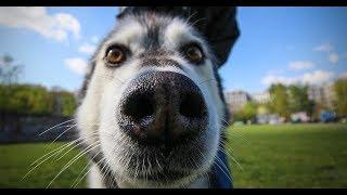 Веселые хаски: видео приколы (Часть 7)