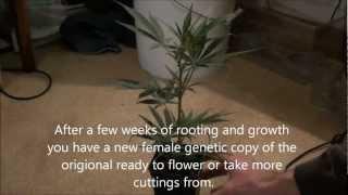 How to Grow Marijuana Vol.II (vegging sexing and cloning)