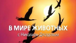 В мире животных с Николаем Дроздовым. Выпуск 4 2017