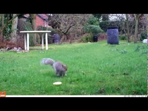 Squirrel burying nuts