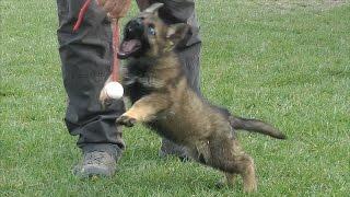 Oskar Katargo - 8 weeks old German Shepherd Puppy