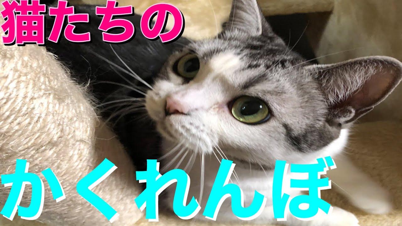 猫達のかくれんぼが可愛くて癒される【アメリカンショートヘアー】